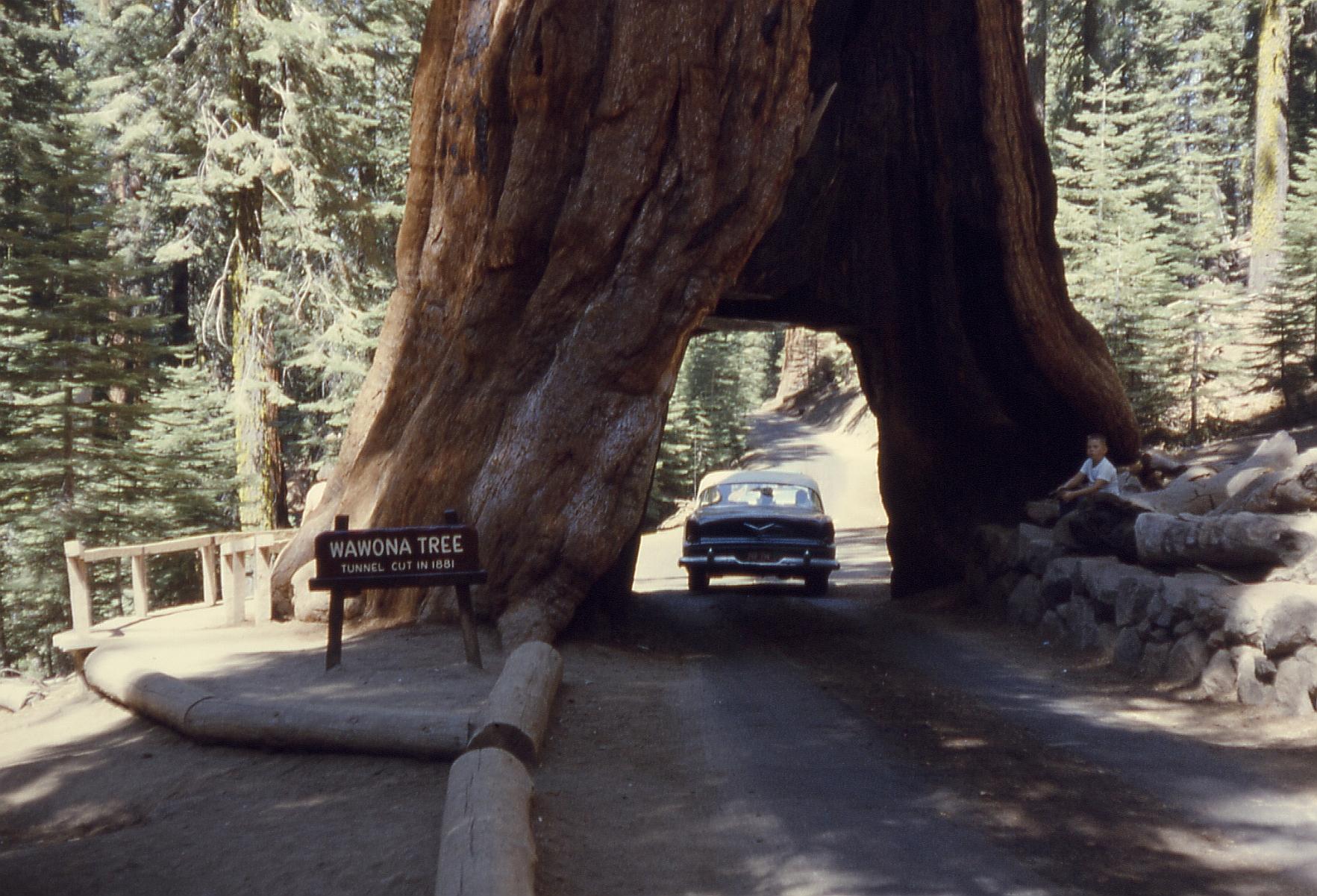 Californias pioneer cabin tree aka tunnel tree has fallen wawona arubaitofo Images